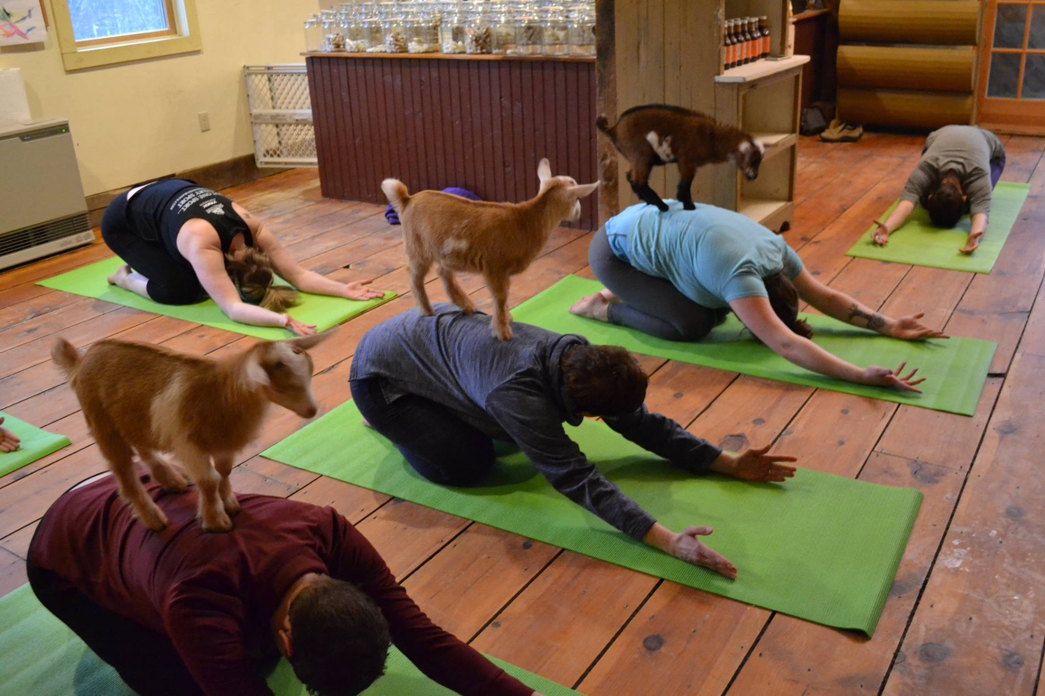 Goat yoga is taking off around the country, and now you can take a class in New England. (Jenness Farm)