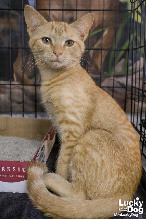 Alice is a 4-month-old orange tabby. After warming up, Alice is very social. She loves playing and cuddling with her canine foster brothers. With her energy she would be a stellar addition to a household with cat-savvy, energetic dogs! You can get more info about Alice here: https://bit.ly/2Sf9NSE (Image: Courtesy Lucky Dog Animal Rescue)