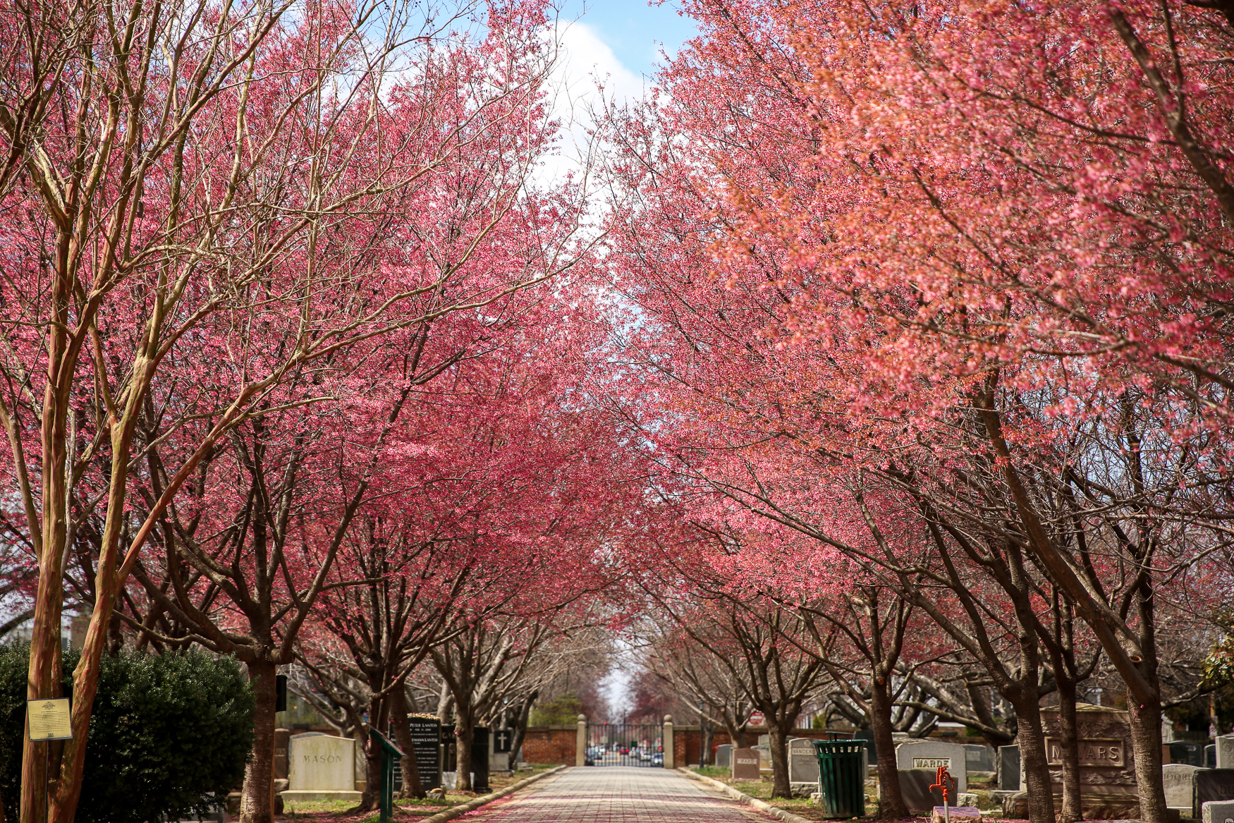 Congressional Cemetery is a stunning historical spot and a dog park, but it also has a huge row of cherry trees near the chapel. The trees bloom fairly early, so you may want to get there sooner rather than later. (Amanda Andrade-Rhoades/DC Refined)