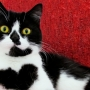 Meet the cat who wears her heart on her chest - literally!