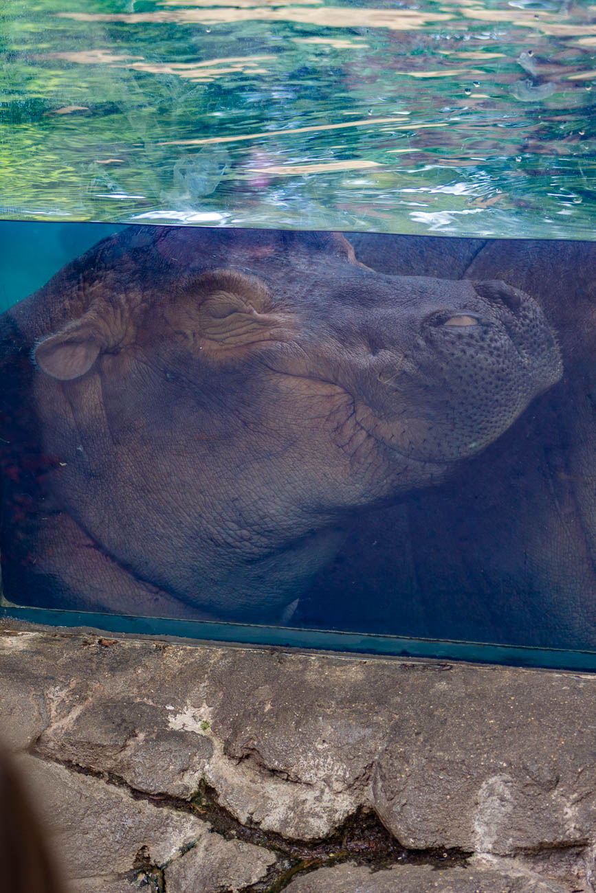 When Fiona isn't sleeping, she enjoys watermelon, pumpkins, and apples from her hippo food menu.{ }/ Image: Katie Robinson, Cincinnati Refined // Published: 5.22.19