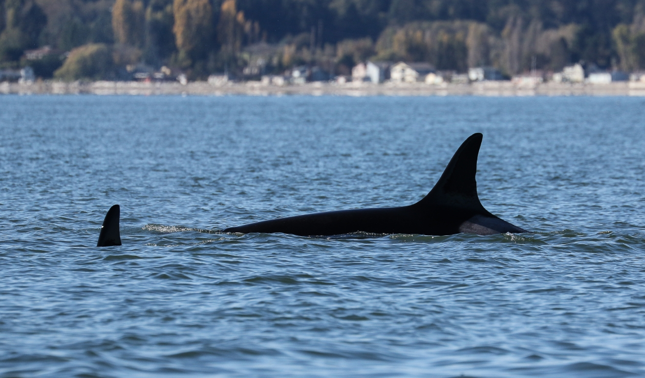 "A photo shows the Orca known as ""Granny,"" a great-great grandmother estimated to be over 100 years old.  She is also considered the matriarch of the Southern Resident orca community. (Photo: Jill Hein/Orca Network)"