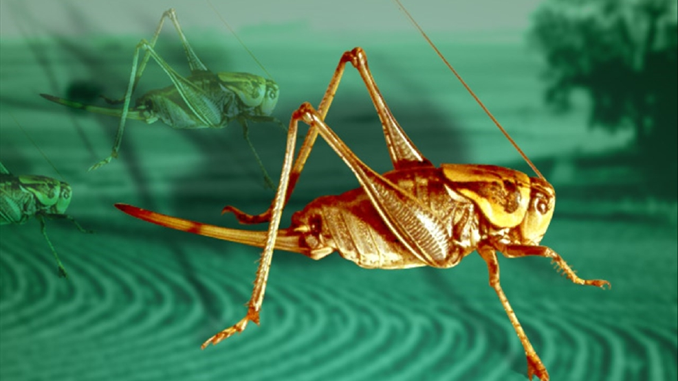 Fish and chirps crickets make leap in demand as a protein for Fishing with crickets