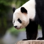 Live Panda Cam: One last look at the National Zoo's Bao Bao