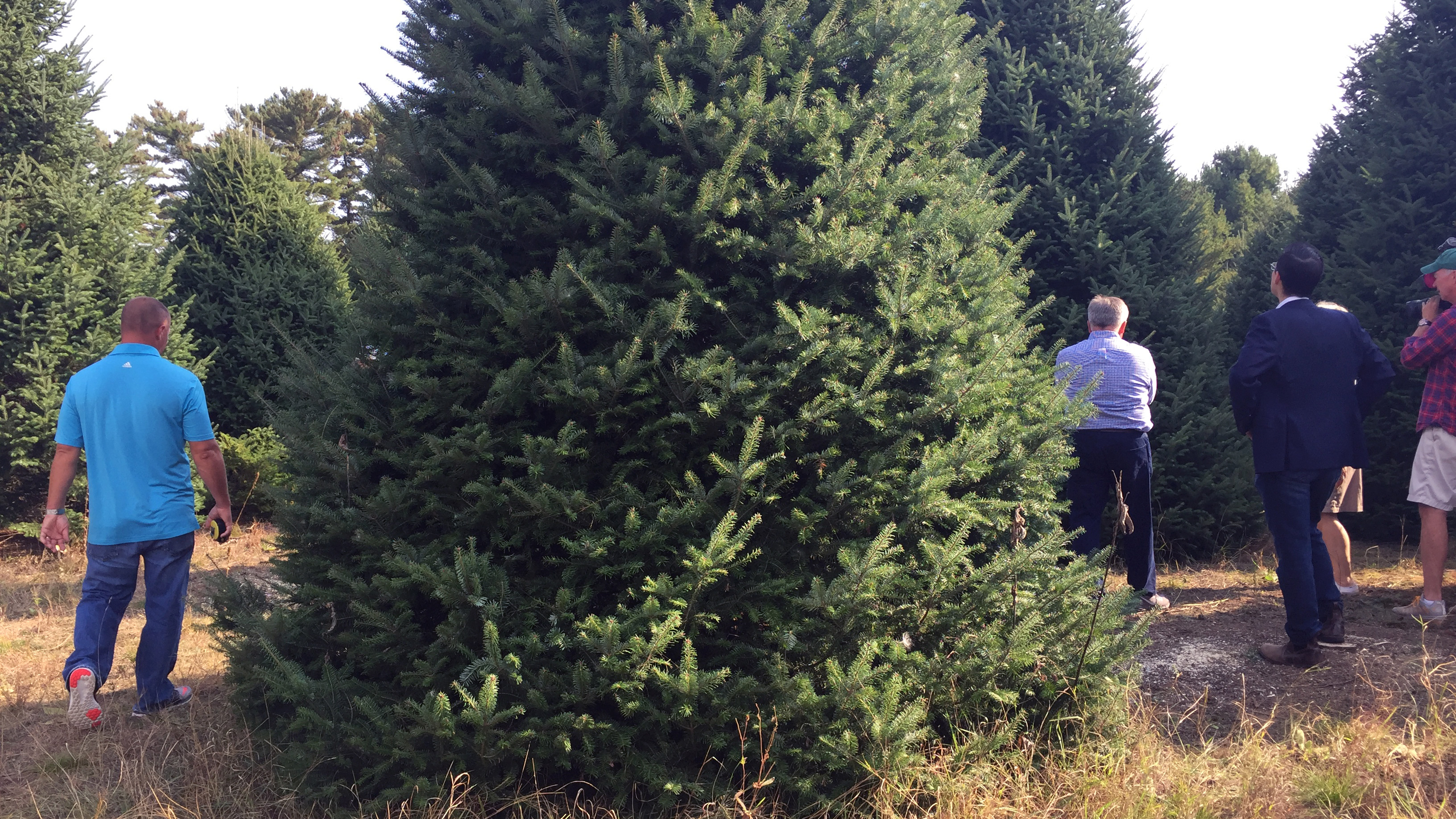 Representatives from the White House and Silent Night Evergreens examine potential Christmas trees for the Blue Room, Sept. 25, 2017, at Hanauer's Tree Farms in Shawano County. (WLUK/Pafoua Yang)