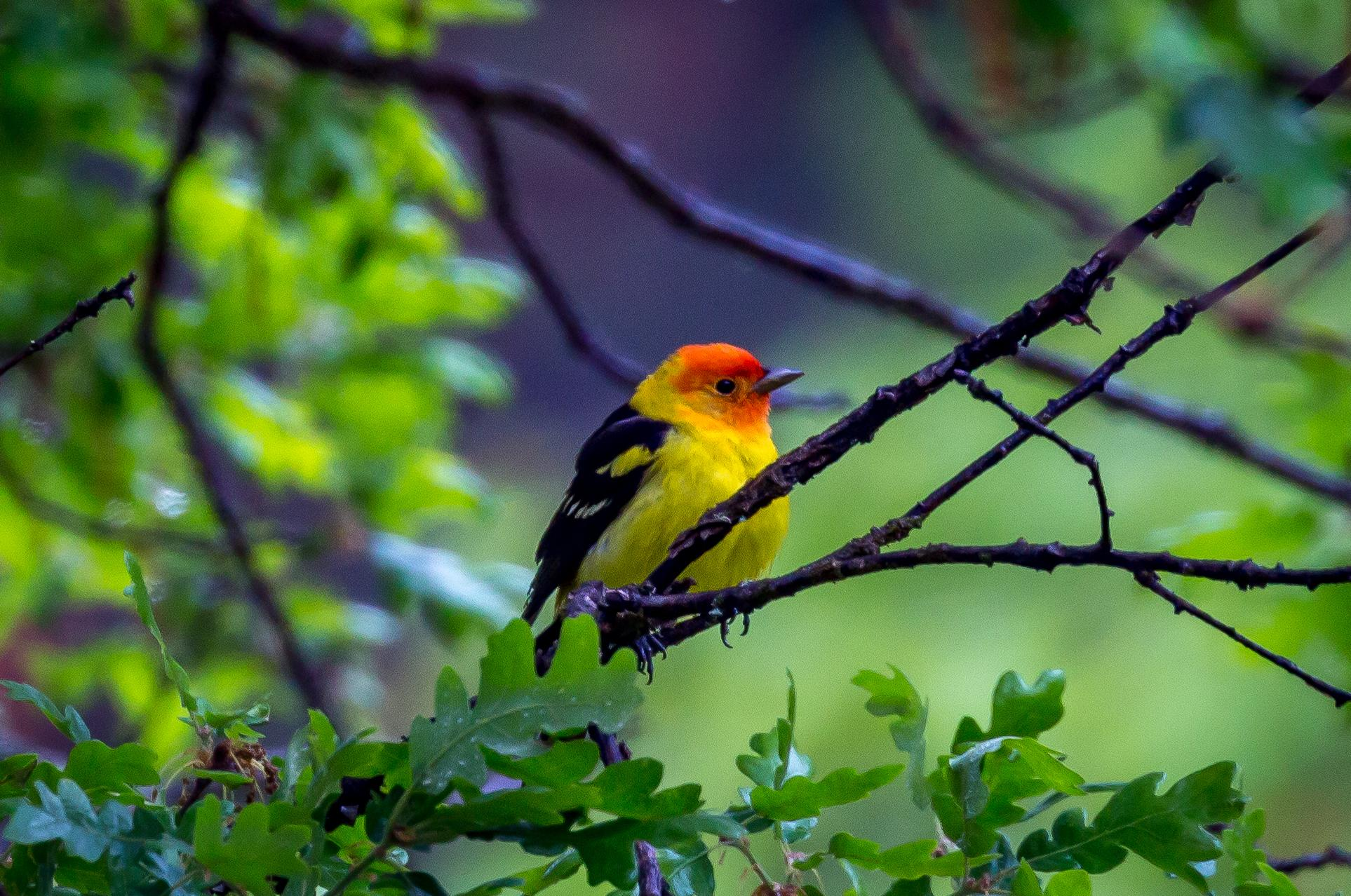 Photo by Nick VianiA Western tanager near Grizzly Peak.