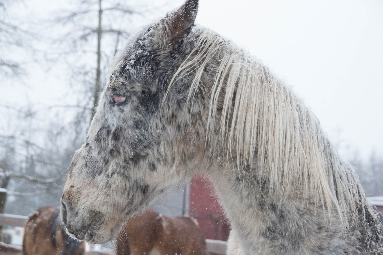 Thirty wolf-dog hybrids and 14 horses were removed from a property in Crandon, March 17, 2017. (Photo courtesy of ASPCA)
