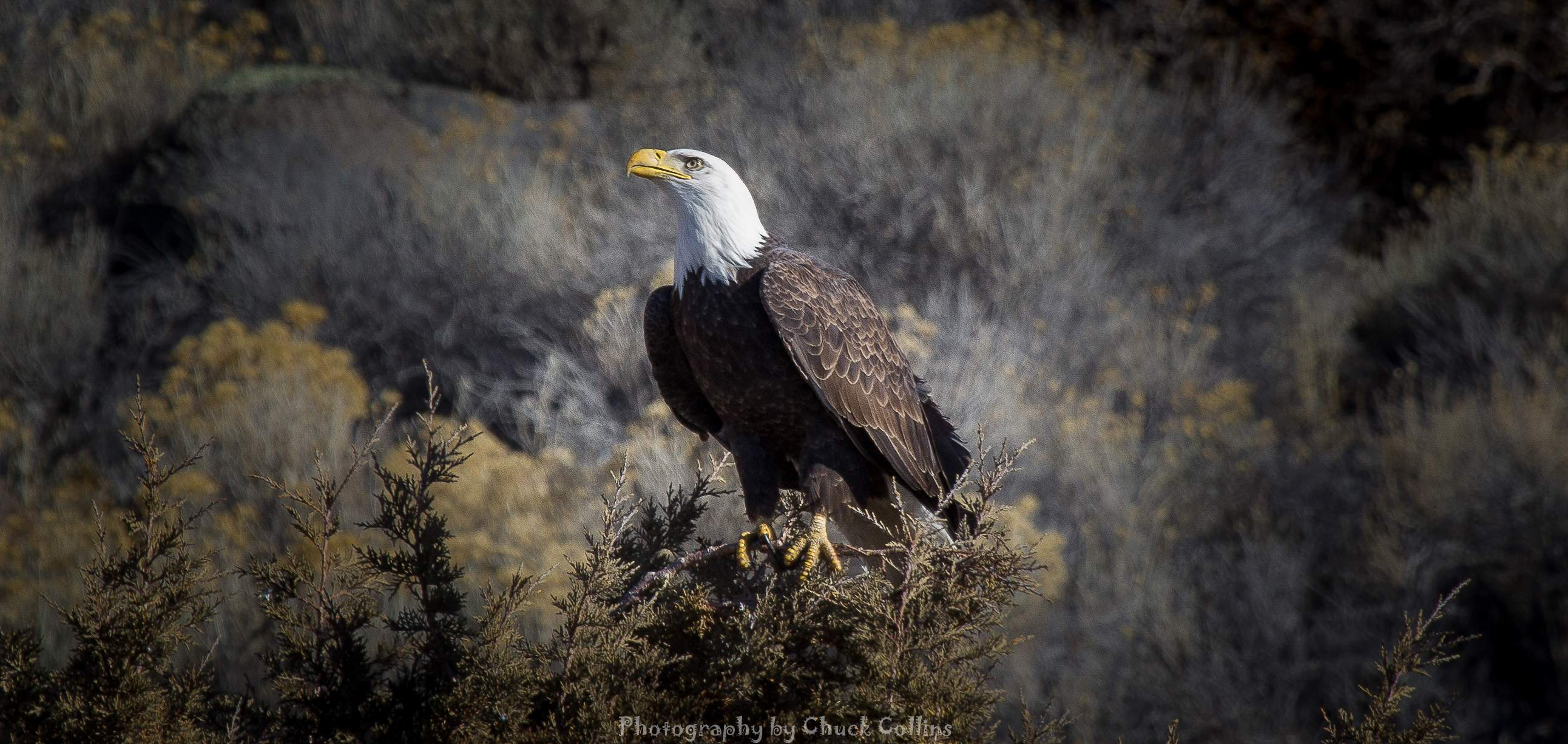 Fifth Place: Chuck Collins of Klamath Falls entered this photo of a bald eagle in a juniper tree on Lower Lake Road in Klamath Falls. - Photo by Chuck Collins